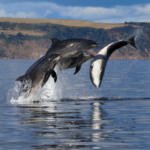 porpoises jumping out of the water in Scotland